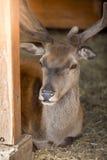 在小牧场的公鹿特写镜头在动物园 库存图片