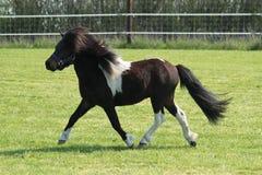 在小牧场的跑的舍特兰群岛小马 免版税库存图片