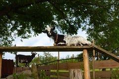 在小牧场的allgau山羊 免版税图库摄影