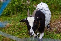 在小牧场的allgau山羊 库存照片