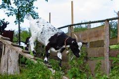 在小牧场的allgau山羊 免版税库存照片