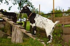 在小牧场的allgau山羊 库存图片