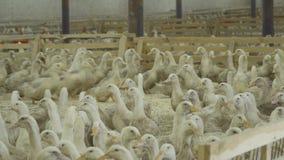 在小牧场里面的很多鸭子家禽场的 影视素材