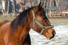 在小牧场-特写镜头的一匹棕色马 免版税库存照片