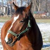 在小牧场-特写镜头的一匹棕色马 免版税库存图片