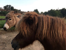 驴在小牧场 库存照片