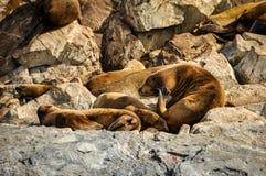 在小猎犬海峡,乌斯怀亚,阿根廷的封印 库存图片