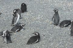 在小猎犬渠道的Magellanic企鹅 免版税图库摄影