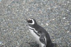 在小猎犬渠道的Magellanic企鹅 库存图片