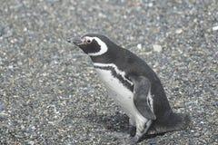 在小猎犬渠道的Magellanic企鹅 图库摄影