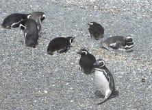 在小猎犬渠道的Magellanic企鹅 库存照片