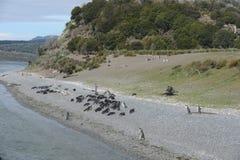 在小猎犬渠道的Magellanic企鹅 免版税库存照片