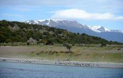 在小猎犬渠道的Magellanic企鹅 免版税库存图片