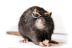 在小玻璃的滑稽的灰色鼠 免版税库存图片