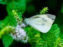 在小白花7的白椰菜蝴蝶 免版税图库摄影