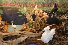 在小白鹭和鸬鹚附近的疣鼻天鹅 库存图片