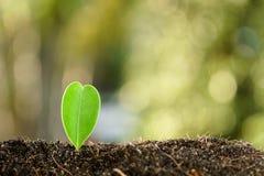 在小的幼木的选择聚焦在黑土壤 库存图片