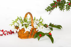 在小篓的Snowdrops用红色莓果 免版税图库摄影