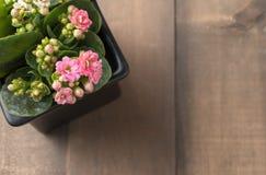 在小罐的美丽的桃红色Kalanchoe或发火焰浅田花 库存照片