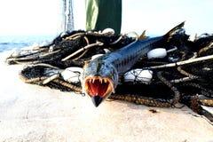 在小船、危险鱼、开放嘴和大牙的欧洲梭子鱼 库存图片