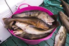 在小船、海洋和海洋捕鱼,冰岛的新鲜的抓住鳕鱼 免版税图库摄影