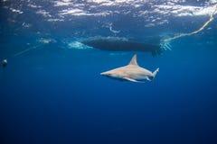 在小船下的沙洲鲨鱼在奥阿胡岛,夏威夷 免版税图库摄影