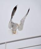 在小船栏杆的海鸥着陆 免版税库存照片