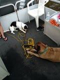 在小船的两条狗 库存照片