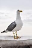 在小船的海鸥 免版税库存照片