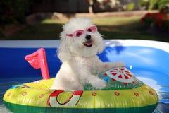 在小船的逗人喜爱的狗在游泳池 图库摄影
