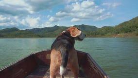在小船的镇定的小猎犬有他的飞行耳朵的 影视素材