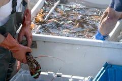 在小船被排序的新鲜的被捉住的龙虾 图库摄影