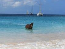 在小船围场巴巴多斯的赛马 免版税库存图片