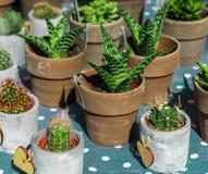 在小花盆的仙人掌和多汁植物汇集在短上衣 免版税图库摄影