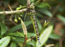 在小蘖属树篱的蜻蜓 免版税库存图片