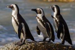 在小跑的公驴企鹅,开普敦,南非 免版税库存照片