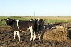 在小组拉美南美大草原的母牛。 免版税库存照片