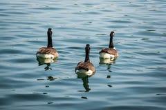 在小组游泳的三只鸭子 库存图片