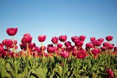 在小组的洋红色郁金香 免版税图库摄影