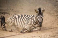 在尘土的嬉戏的斑马 免版税库存照片