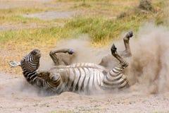 在尘土的平原斑马 库存图片