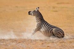 在尘土的平原斑马 免版税库存图片