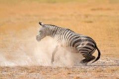 在尘土的平原斑马 免版税库存照片