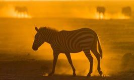 在尘土的斑马反对落日 肯尼亚 坦桑尼亚 国家公园 serengeti 马赛马拉 图库摄影