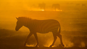 在尘土的斑马反对落日 肯尼亚 坦桑尼亚 国家公园 serengeti 马赛马拉 库存照片