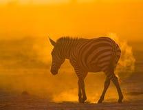 在尘土的斑马反对落日 肯尼亚 坦桑尼亚 国家公园 serengeti 马赛马拉 库存图片