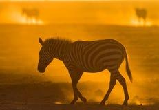在尘土的斑马反对落日 肯尼亚 坦桑尼亚 国家公园 serengeti 马赛马拉 免版税库存图片