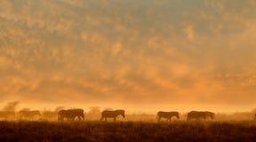 在尘土的斑马在日出 库存图片