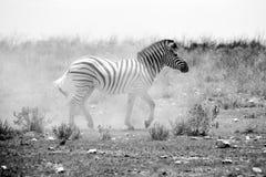 在尘土的斑马 免版税库存图片