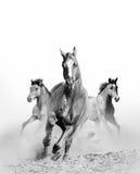 在尘土的野马 免版税图库摄影